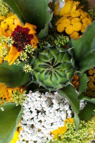 Knospe der Sonnenblume